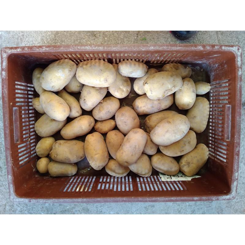 Pomme de terre de consommation cat gorie 1 vari t jose - Arrosage pomme de terre ...