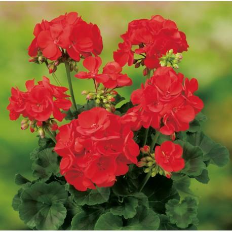 geranium zonal rouge domange patrick. Black Bedroom Furniture Sets. Home Design Ideas