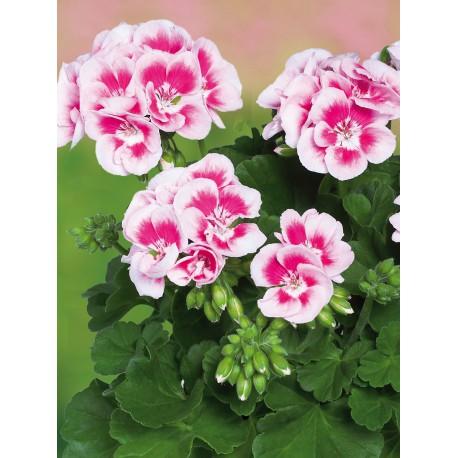 geranium zonal blanc macule rouge domange patrick. Black Bedroom Furniture Sets. Home Design Ideas