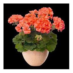 geranium zonal orange domange patrick. Black Bedroom Furniture Sets. Home Design Ideas