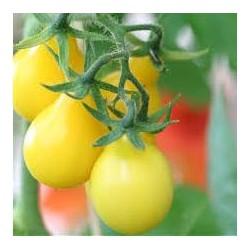 tomates coeur de boeuf véritable
