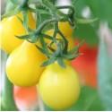 PLANTS - Tomate - variété POIRE JAUNE