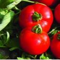 PLANTS - Tomate – variété FOURNAISE