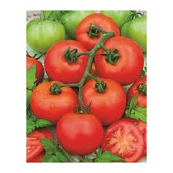 Tomate variété PYROS