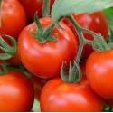 PLANTS - Tomate variété FANDANGO