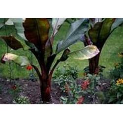 Bananier musa maurelli