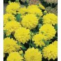 DAHLIA feuille verte  fleur  jaune