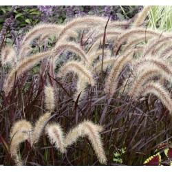 Pennisetum rubrum