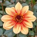 DAHLIA feuille foncée fleur orange