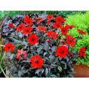 DAHLIA feuille foncée  fleur rouge
